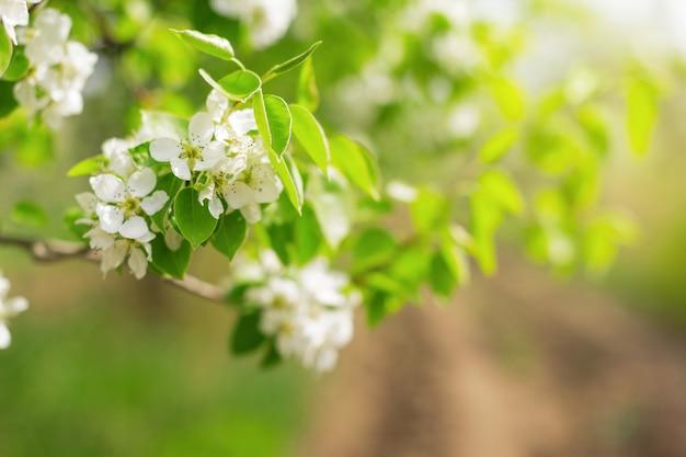 Flores de cerejeira sobre fundo de natureza turva Foto Premium