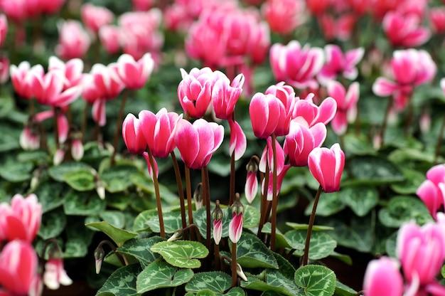 Flores de ciclâmen brancas e rosa variadas Foto Premium