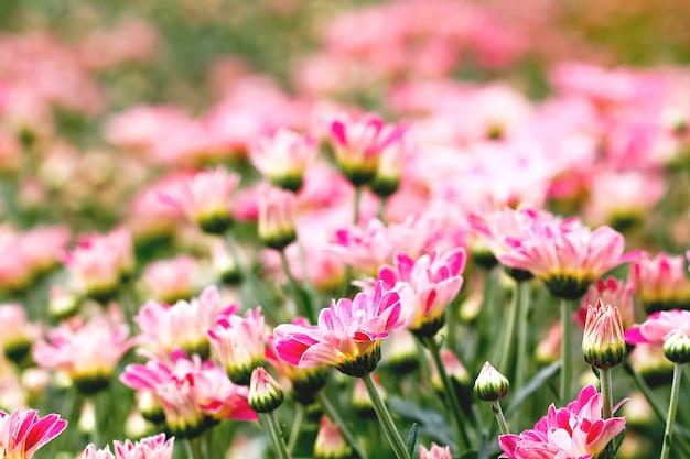 Flores de crisântemo rosa Foto Premium