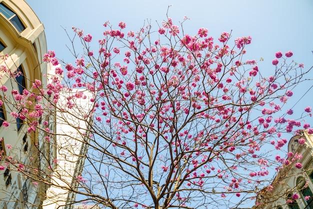 Flores de ipê roxo, com um lindo céu azul Foto Premium