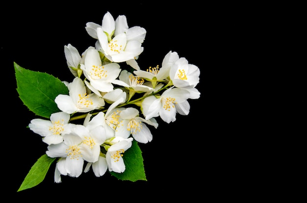 Flores de jasmim em preto Foto Premium
