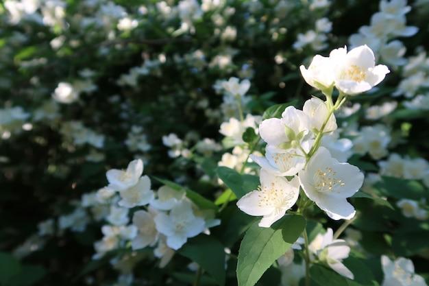 Flores de jasmim em um jardim Foto Premium