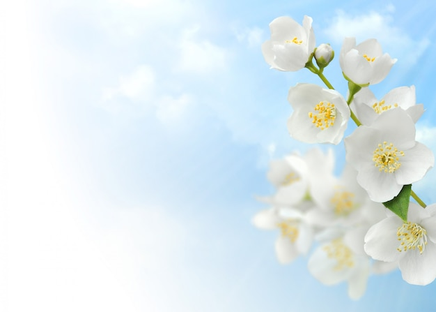 Flores de jasmim sobre fundo de céu azul Foto Premium