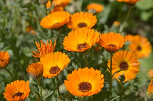 Flores de laranjeira (calêndula) Foto Premium
