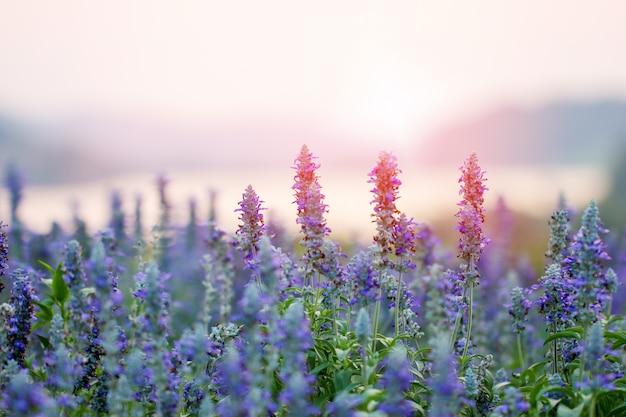 Flores de lavanda roxa no campo Foto Premium