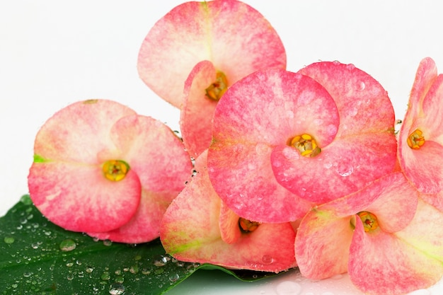 Flores de milii rosa euphorbia florescendo, espinho de cristo, poi sian flores Foto Premium