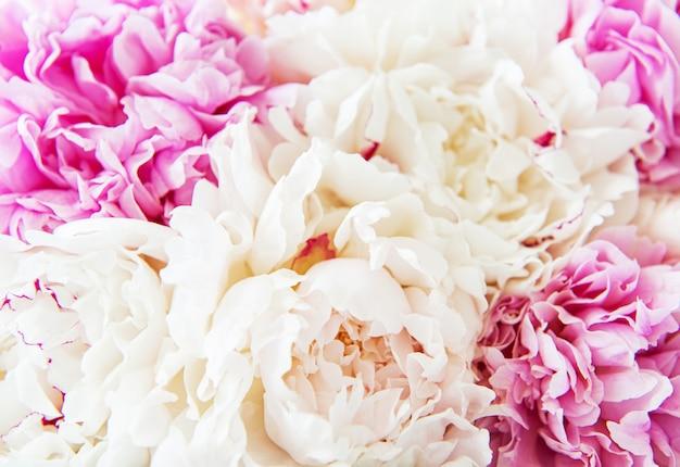 Flores de peônia Foto Premium