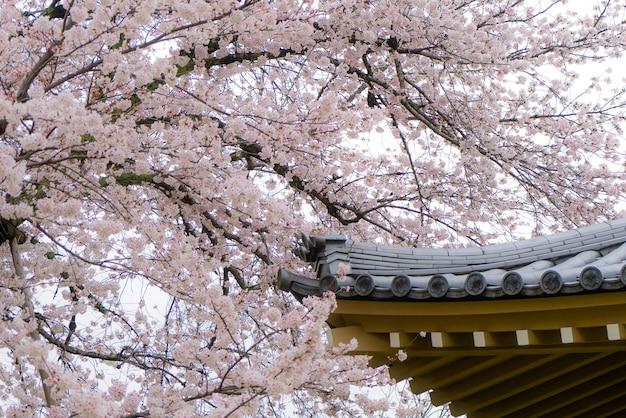 Flores de sakura ou flor de cerejeira com o telhado da casa em kyoto, japão. Foto Premium