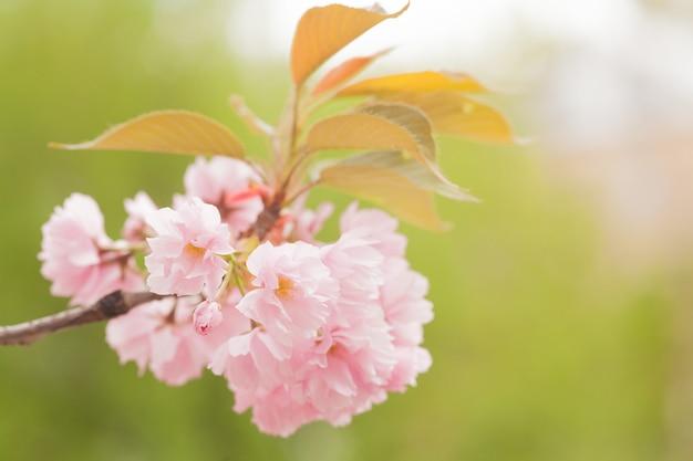Flores de sakura rosa. flor de cerejeira Foto Premium