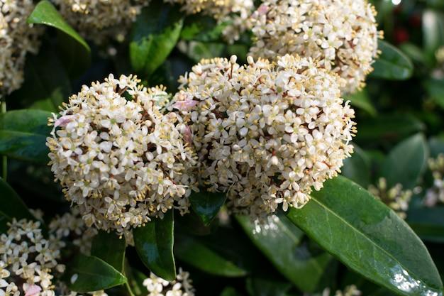 Flores de skimmia japonica ou planta de flor japonesa skimmia Foto Premium