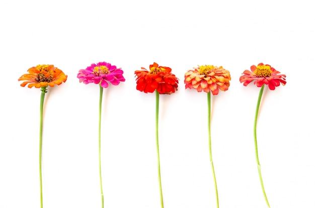 Flores de zínia Foto Premium