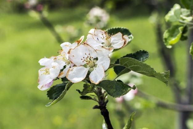 Flores desabrochando em uma macieira Foto Premium