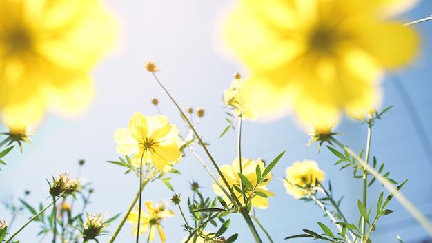 Flores do cosmos Foto Premium