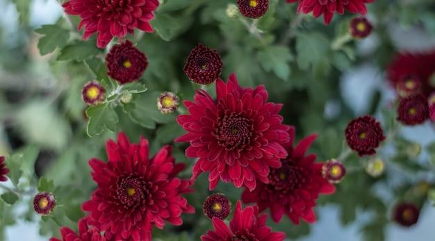 Flores do crisântemo como um fim do fundo acima. crisântemos borgonha (roxos). papel de parede de crisântemo. fundo floral Foto Premium