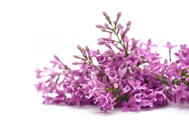 Flores lilás em branco Foto Premium