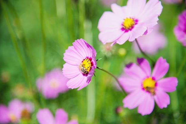 Flores lindas primavera roxo cosmo no fundo do jardim verde Foto gratuita