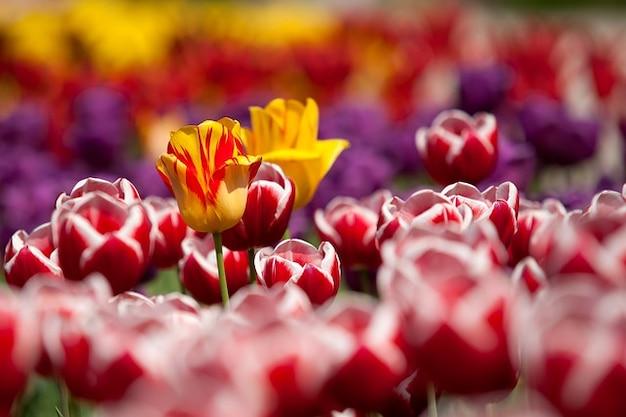 flores jardim primavera : flores jardim primavera:Garden Spring Flowers Tulips