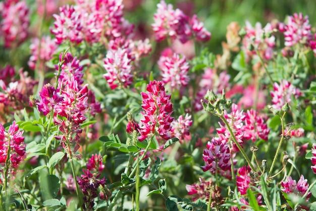 Flores rosa de sulla com o qual um excelente mel é produzido na sicília, itália Foto Premium