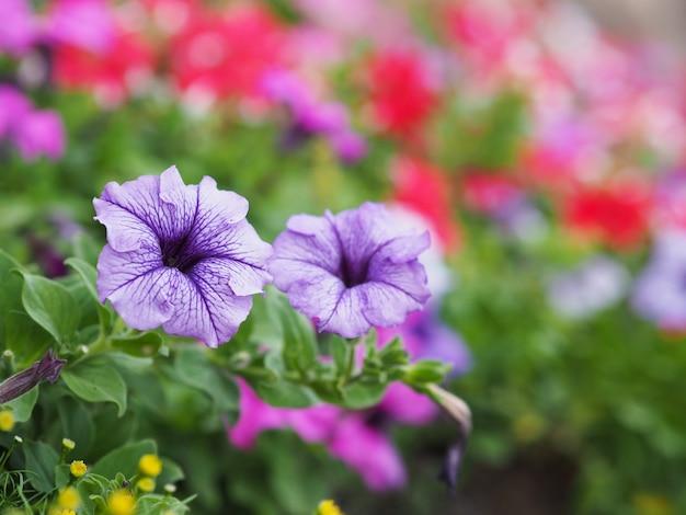 Flores roxas de petúnia Foto Premium