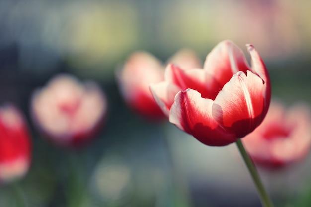 Flores tulipa Foto Premium