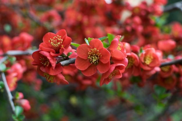 Flores vermelhas de cydonia ou chaenomeles japonica ou superba Foto Premium