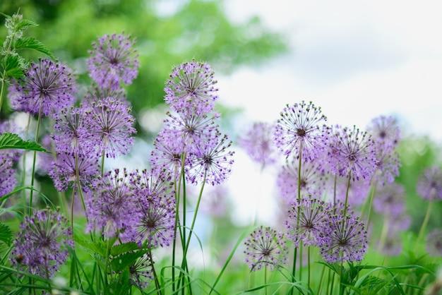Flores violetas no campo verde. dia ensolarado de verão Foto Premium