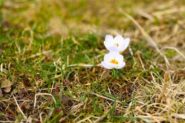 Floresce açafrão em plena floração, lilás branco, cresce na grama seca. Foto Premium
