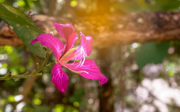 Florescência de vermelho bauhinia purpurea flor no jardim com a luz solar, flor da árvore de orquídea Foto Premium