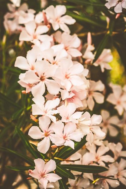 Florescendo, bonito, flores, de, oleander, montenegro, flores Foto Premium