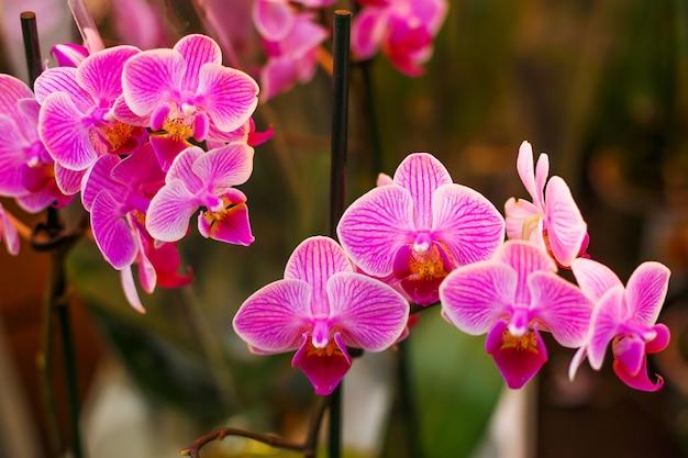 Florescendo brilhante rosa orquídea, planta de casa Foto Premium