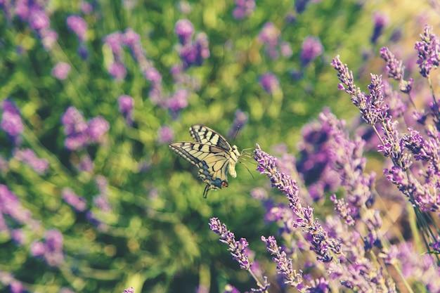 Florescendo campo de lavanda. borboleta em flores. Foto Premium