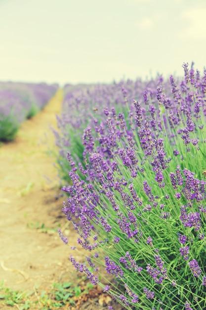 Florescendo campo de lavanda. flores de verão. Foto Premium