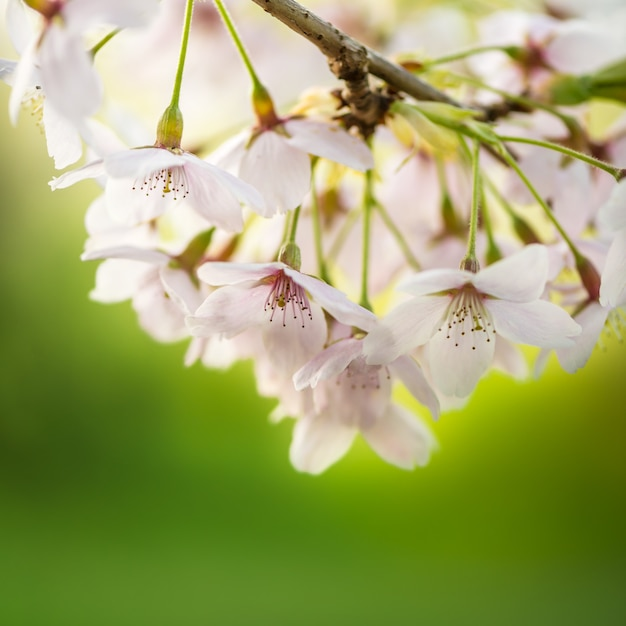 Florescente galhos de árvores com flores brancas, cereja florescendo, primavera, parque na inglaterra, reino unido Foto Premium