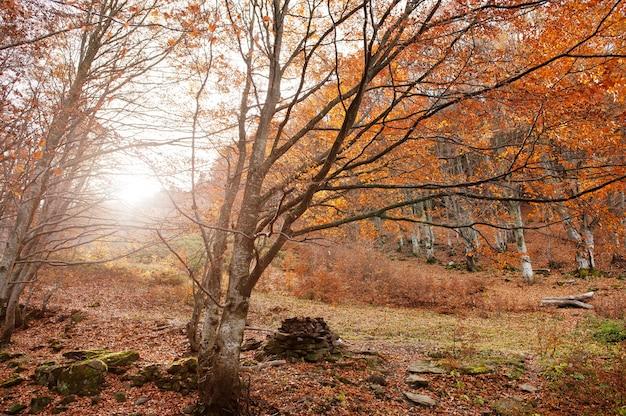 Floresta com pedras e folhas caídas vermelhas na madeira da luz solar. Foto Premium