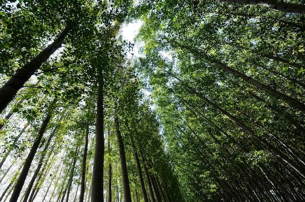 Floresta de álamo em fuente vaqueros, granada, andaluzia, espanha Foto gratuita