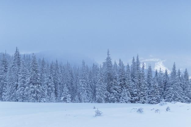 Floresta de inverno congelado no meio do nevoeiro. pinheiro na natureza coberto de neve fresca carpathian, ucrânia Foto gratuita