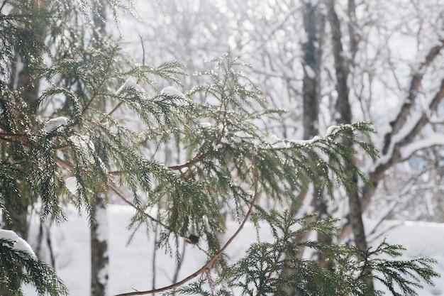 Floresta de neve no santuário de togakushi, japão Foto gratuita