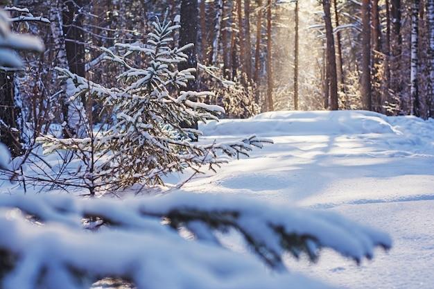 Floresta de pinheiros no inverno Foto Premium