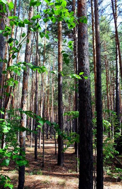 Floresta de pinheiros Foto Premium