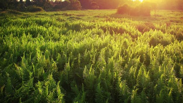 Floresta de samambaia quando o sol brilha. Foto Premium