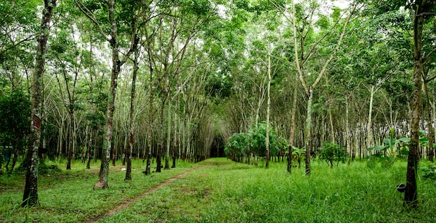 Floresta de seringueira, látex de borracha extraído da seringueira, colheita na tailândia. Foto Premium