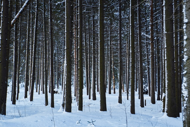 Floresta escura, andar na mata antes do natal Foto Premium