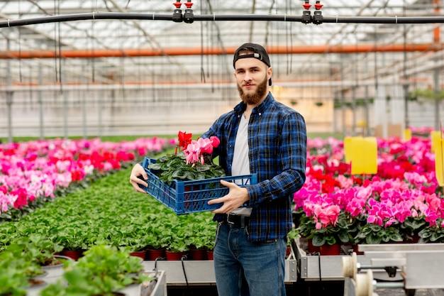 Florista masculina com uma caixa de ciclâmen nas mãos. plantas de ciclâmen rosa em vasos. jardinagem e florística. trabalhando com flores e plantas Foto Premium