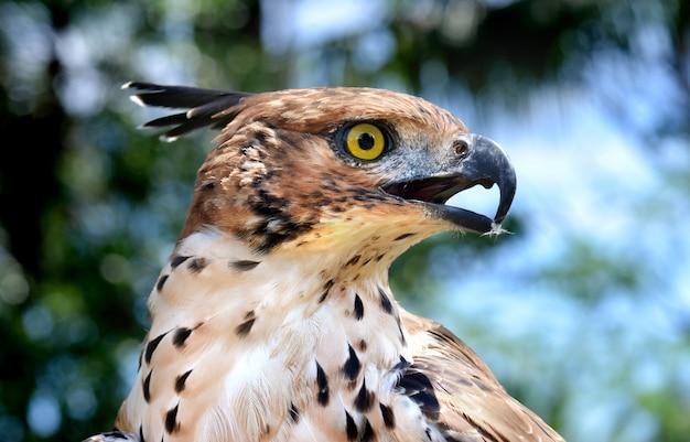 Foco principal da águia mutável do falcão Foto Premium