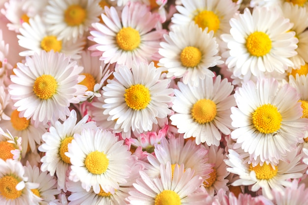Foco seletivo de estilo de cor vintage de flores margarida para fundo de natureza Foto Premium