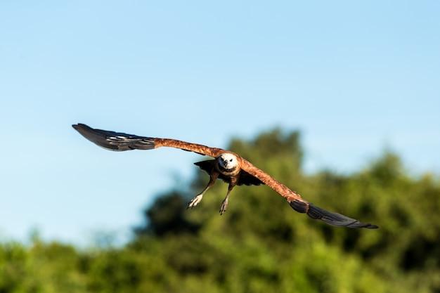 Foco seletivo de um falcão voador sob a luz do sol e um céu azul Foto gratuita