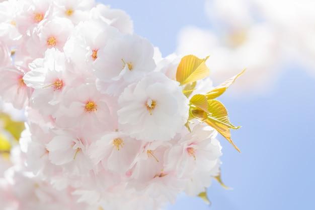 Foco seletivo flor de cerejeira sakura no japão com fundo desfocado céu azul Foto Premium