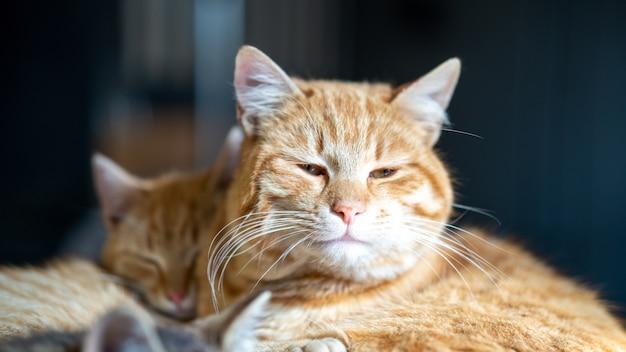 Foco suave de um gato de estimação marrom com os olhos ligeiramente abertos Foto gratuita