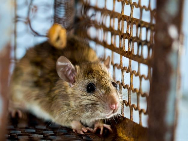 Foco suave do rato em uma jaula que captura um rato. o rato tem contágio a doença para os seres humanos Foto Premium