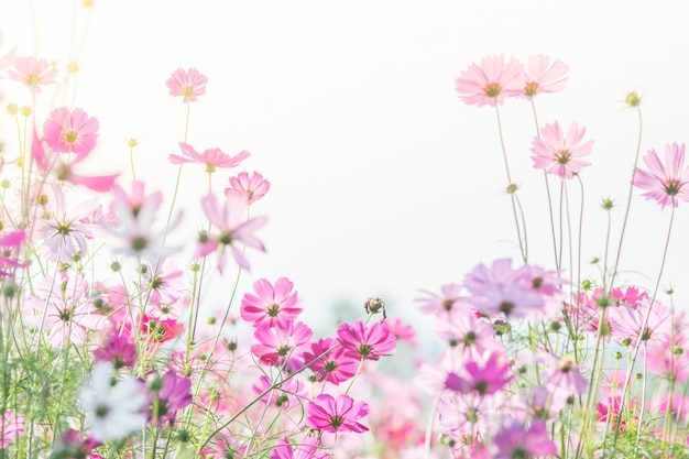 Foco suave e seletivo do cosmos, flor embaçada para plano de fundo, plantas coloridas Foto Premium